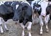 Livestock Haulage Longford. John Balfe Livestock Transport