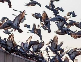 Feral pigeon control Limerick