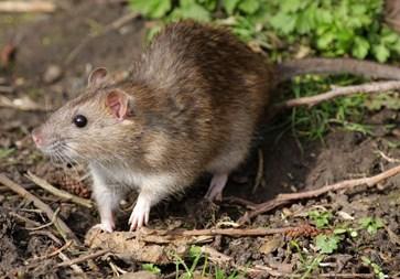 Rat control Limerick