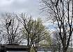 Tree Surgeon Cork City, Pullin Trees